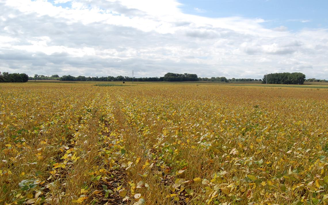 Weather conditions during field drying, after plants are frozen, impact the color of the harvested soybeans. NDSU photo