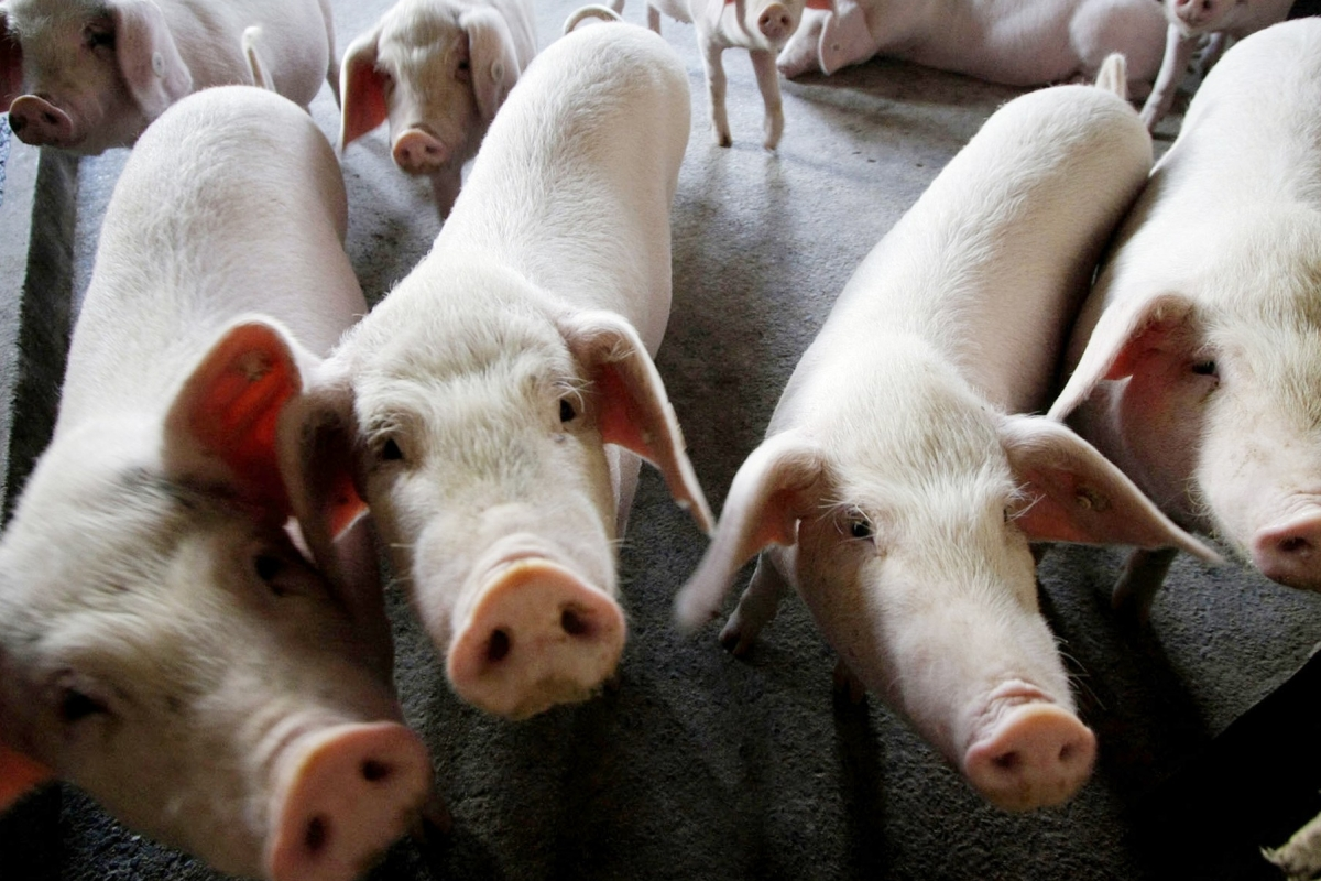 Market watchers say reports of African swine fever in pork goods mean producers must brace for a financial hit and stricter health regulations. Photo: AP