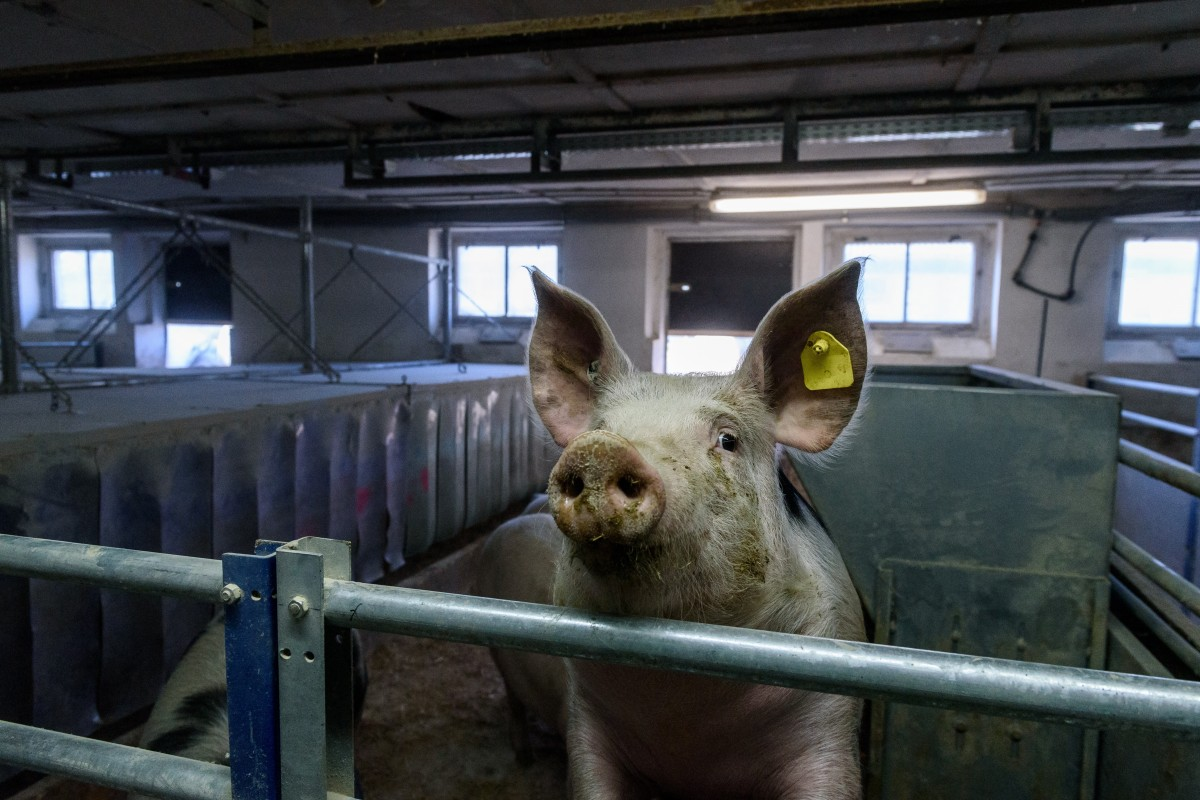 A pig stands in a shed of a pig farm near Berlin. Photo: EPA-EFE