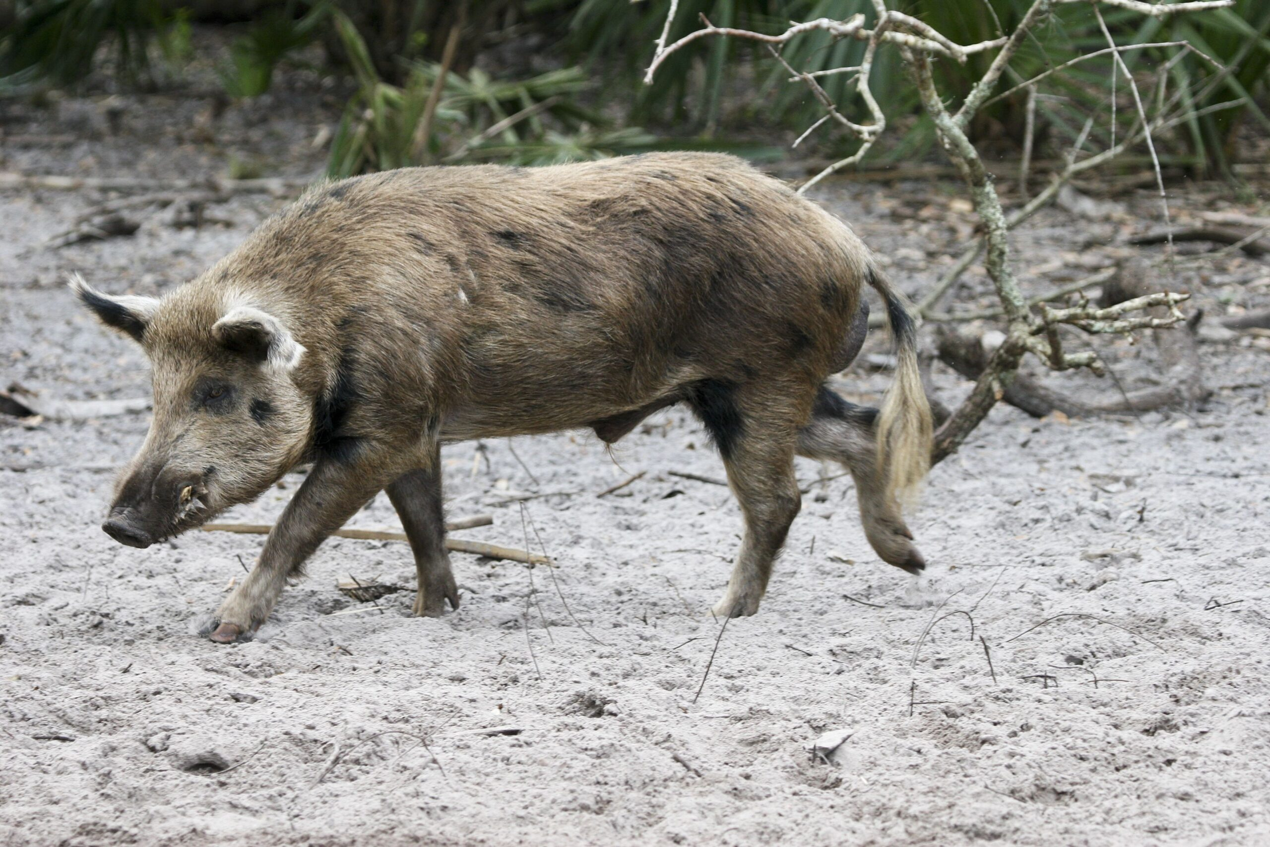 wild pig walking over dirty sand with plants in background